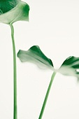 스틸라이프 (콤퍼지션), 식물, 여름, 잎 (식물부분), 몬스테라