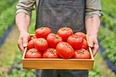 토마토, 채소, 산지직송 (배달), 프레시 (컨셉), 유기농, 수확 (움직이는활동), 농작물, 건강식