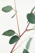 스틸라이프 (콤퍼지션), 식물, 유칼립투스나무 (열대나무), 폴리안