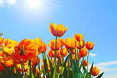 Bright orange flowers of tulips blooming in a garden on a sunny spring day with natural lit by sunlight.