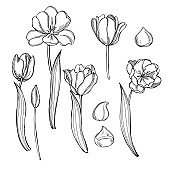 Tulips. Vector  illustration.