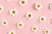 Pattern made of white chamomile flowers on a pink pastel background