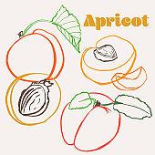 Apricot line art hand-drawn multicolor modern vector illustration. Colorful line art summer fruit design.