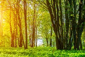 Spring forest landscape in sunny weather - forest trees lit by soft sunlight. Forest nature in sunny spring day