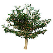 3D illustration sycamore tree on white