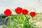 Tulip flower garden in spring