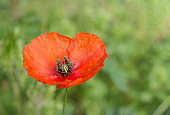 Close up of poppy flower or papaver poppy on blooming wild flowers in meadow background.