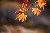 Maple leaves in autumn colors in the sunlight