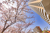 Cherry blossoms in full bloom in the city