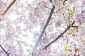 Cherry blossoms and sparrows in full bloom with beautiful pink petals