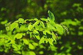 Young fresh green leaves in springtime