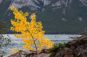 Yellow tree in autumn with people canoeing