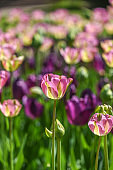 A head of blooming colorful tulip in a garden, spring time in Poland.