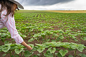 Farmer woman examining sunflower plants with tablet in the middle of an agricultural field. Walking and checking out the plants. Agricultural Occupation.