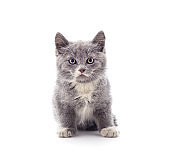 Gray little kitten is standing.