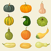 Squash. Vegetable organic plants autumn eating pumpkin tasty healthy food recent vector cartoon collection