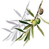 Watercolor olive branches on white botanical illustration.