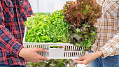 Two Asian farmers is harvesting vegetables from a hydroponic farm, Concept of growing organic vegetables and healthy food.