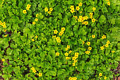 Summer background. Small yellow flowers bloom in the forest.