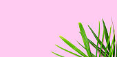 Tropical palm leaves on pink background. Summer background concept