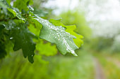 closeup wet oak tree branch in water drop, natural background