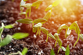 green sprout seedlings. spring season. plant cultivation and agricultural concept