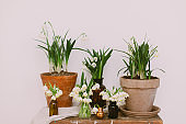 Spring plants in clay pots and flowers in glass bottles on rustic wood with textile. Hello spring