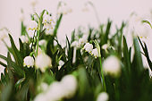 Hello spring. Spring snowflakes flowers growing on white background. First flowers. Save environment