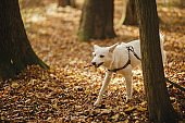 Cute funny dog brings wooden stick in autumn woods. Adorable swiss shepherd white dog in harness and leash playing with twig in beautiful fall forest. Hiking with pet