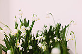 Spring flowers growing on white background with copy space. Hello spring. Spring snowflakes