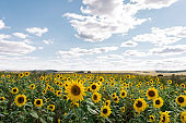 A field of blossoming sunflowers landscape against a blue sky with clouds. Summer time or autumn harvest concept