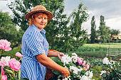 Senior woman gathering flowers in garden. Elderly retired woman cutting peonies with pruner. Hobby