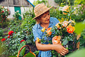 Senior woman gathering flowers in garden. Happy woman smelling and cutting roses off with pruner. Summer gardening