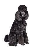 Funny royal black poodle