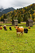 Brown cow looking directly to viewer among grazing cows with traditional wooden barns in the background on an autumn day in Sabasa, North Moldavia, Romania.