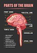 parts of the brain educational scheme