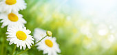 Spring chamomile flowers field. Sunny summer field