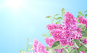 Branch of Lilac on sunny beautiful nature spring background