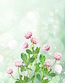 Wild red clover (Trifolium pratense) on sunny nature spring background