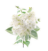 Branch of Lilac with white flowers and leaves
