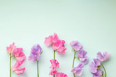 Plain light blue background and pink and purple sweet pea