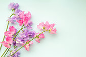 Plain light blue background and pink sweet pea