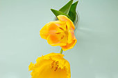 Yellow tulips in a vase Spring flowers