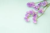 Plain light blue background and purple sweet pea