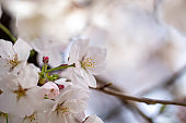 Close-up of cherry blossoms in full bloom