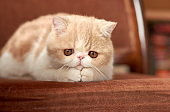 A beautiful kitten of the exotic shorthair breed lies on the brown background of the house. Color cream with white