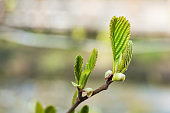 Young green leaves bloom in the spring on a tree branch. Selective focus.
