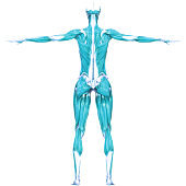 Human Body Muscles a Part of Human Muscular System Anatomy