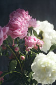 Dreamy flower bouquet of pink natural peonies flowers, spring and summer season bouquet