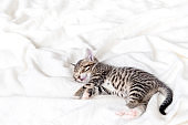 Cute Small striped kitten sleeps on white light blanket at home. Concept of adorable pets. Copyspace